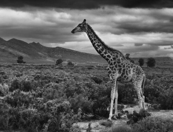 giraffe capetown